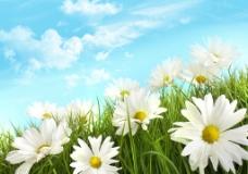 蓝天白云绿野菊花图片