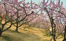 开满桃花的桃树群图片