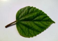 牡丹花(叶)图片