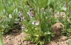 蚕豆花图片