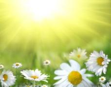 阳光下的野菊花图片
