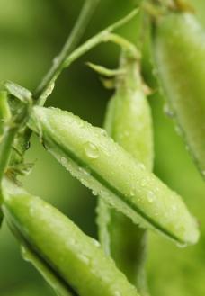四季豆 水珠图片