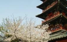 樱花与寒山寺图片