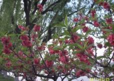 桃红柳绿图片