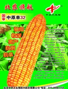 玉米 农大62图片