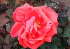 红色玫瑰图片