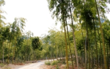 绿色竹林图片