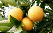 密萘夏橙图片