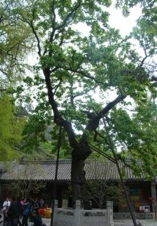 潭柘寺的古树图片