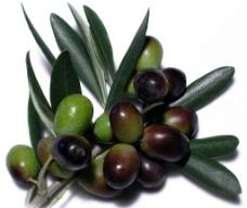橄榄果油橄榄图片