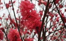 红艳艳的桃花图片