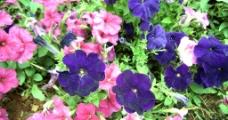 花园围丛花图片