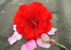 地面上的红花图片