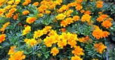 金黄色的花图片