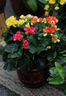 海棠花图片