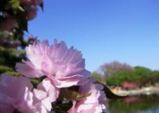 蓝天下的樱花图片