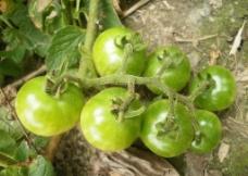綠番茄图片