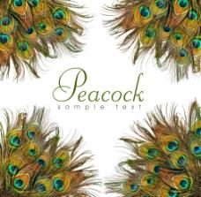 美丽的孔雀羽毛图片