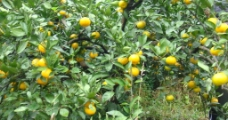 石门秀坪橘子图片
