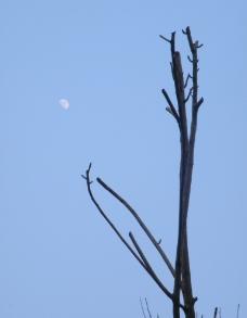 枯枝盼月图片