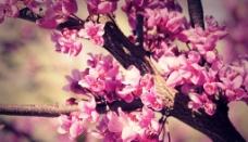 粉红花朵图片