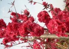 红桃花图片