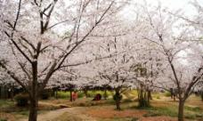 磨山樱花图片