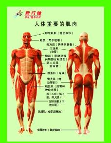 人体肌肉分布图片