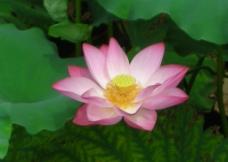 荷花 花卉图片
