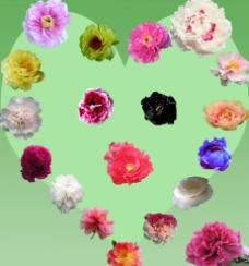 牡丹花卉图片